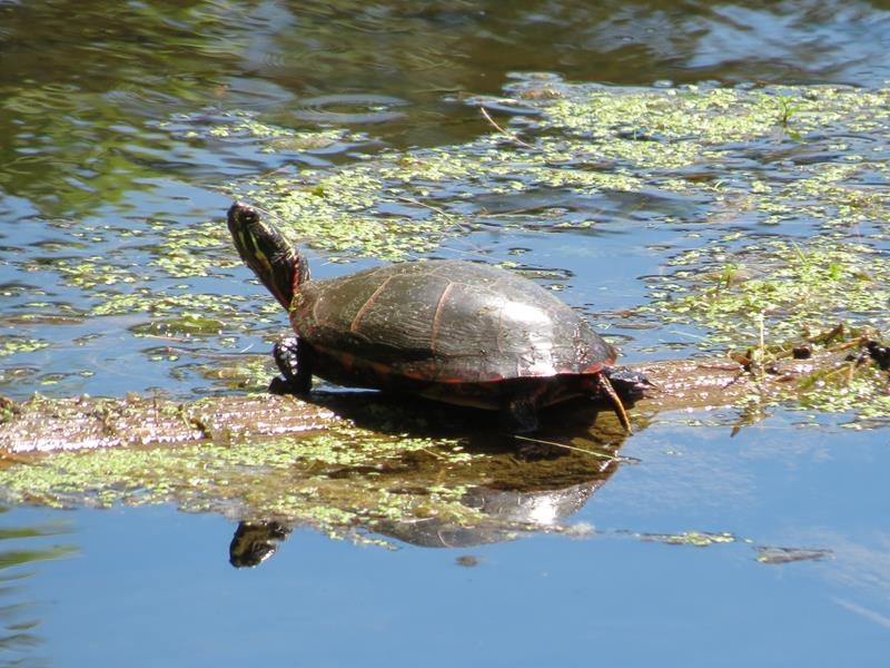 local-resident-a-painted-turtle-basks-in-sunshine_800x600
